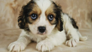 Facts about Cavachon-A Perfect Family Dog