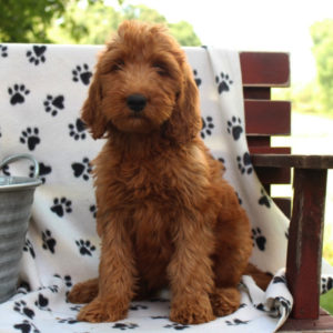 Irish Doodle Dog Breed Facts and Information