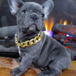 Blue French Bulldog Facts & Complete Info