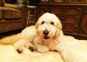 F1b Goldendoodle Facts & Complete Info