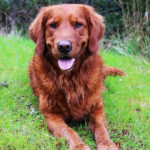 Red Golden Retriever Facts & Complete Info