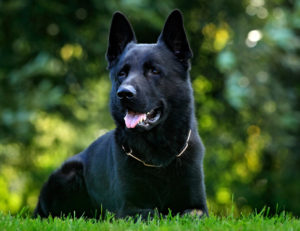 Black German Shepherd Facts & Info