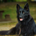 Black German Shepherd Facts