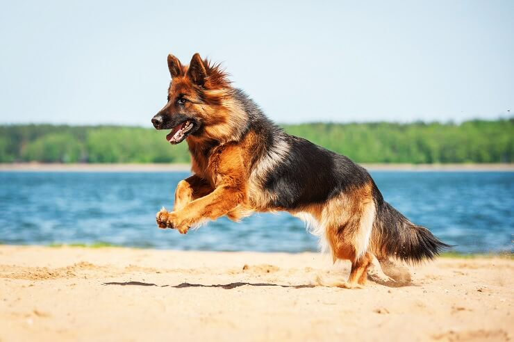 Long Haired German Shepherd Facts & Complete Info