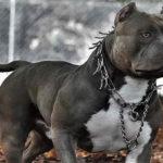 Blue Nose Pitbull Facts 8