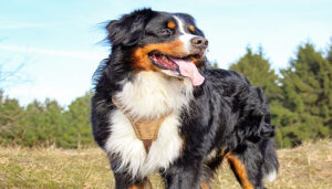 Bernedoodle Full Grown Facts and Info and details