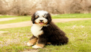 Bernedoodle full grown Activity Requirments