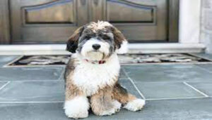 Bernedoodle full grown Breed Appearance