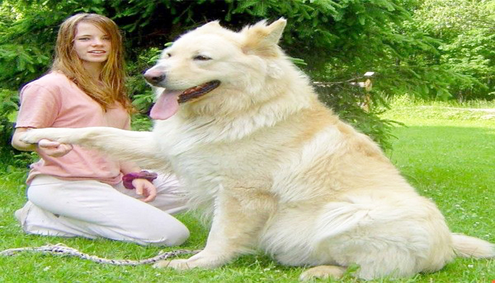 Is a white German shepherd suitable for a family?