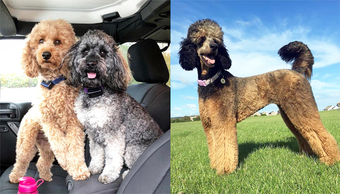 Moyen Poodle Facts and Complete Info