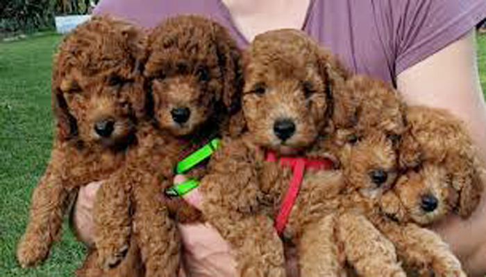 Moyen Poodle Growth Rate