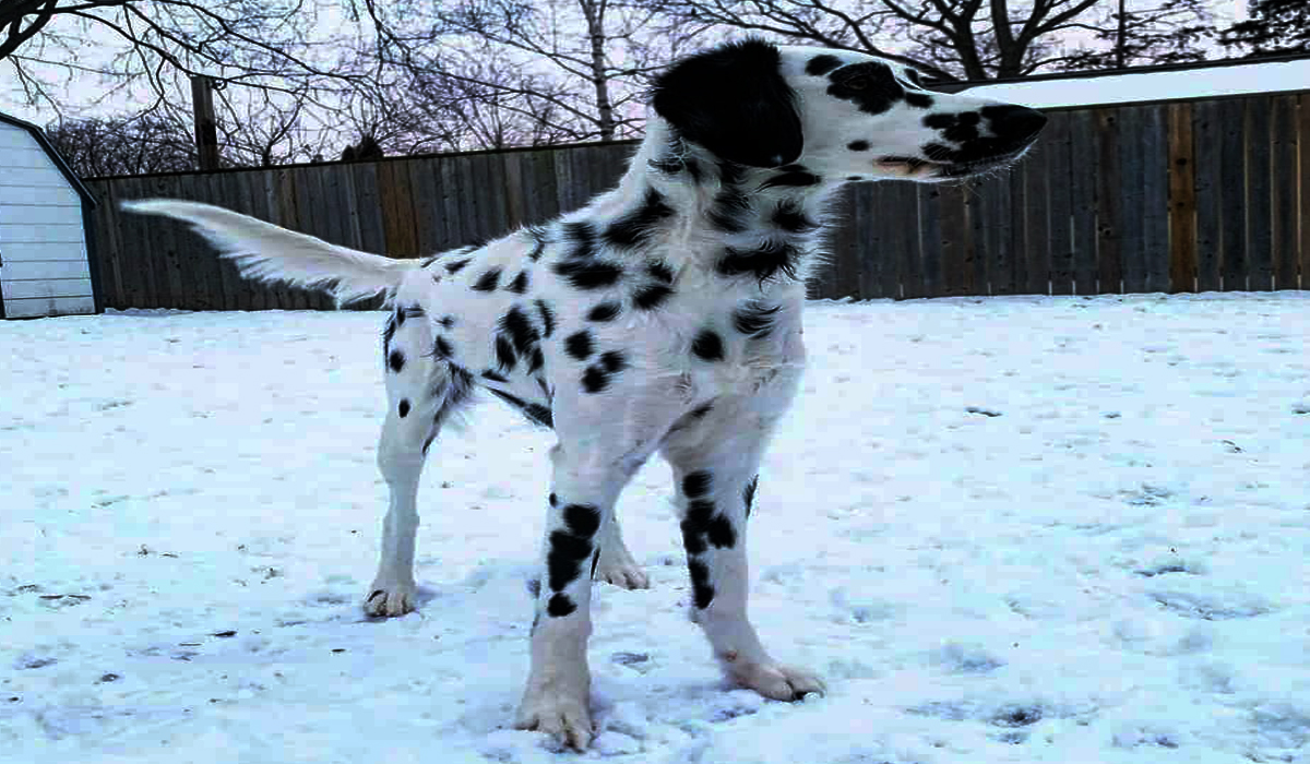 Facts About Long Haired Dalmatian