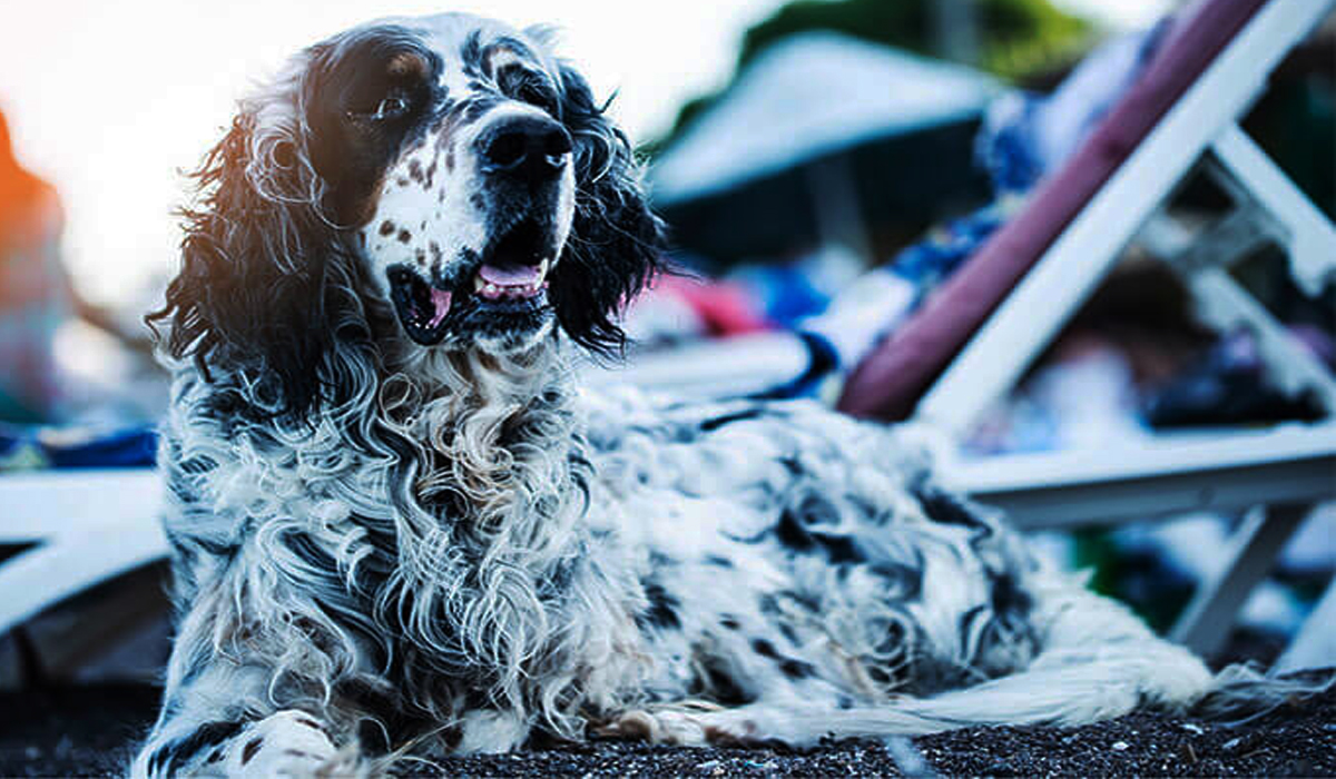 Long Haired Dalmatian Dog-Facts And Info
