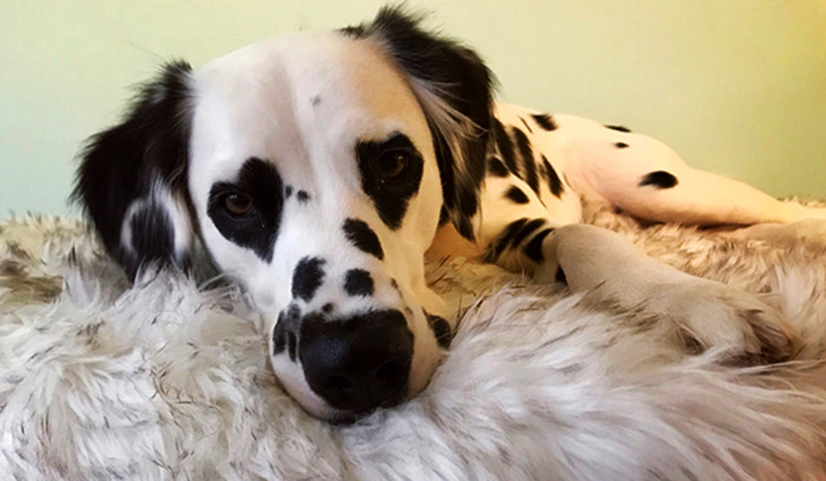 What Does a Long-Haired Dalmatian Look Like